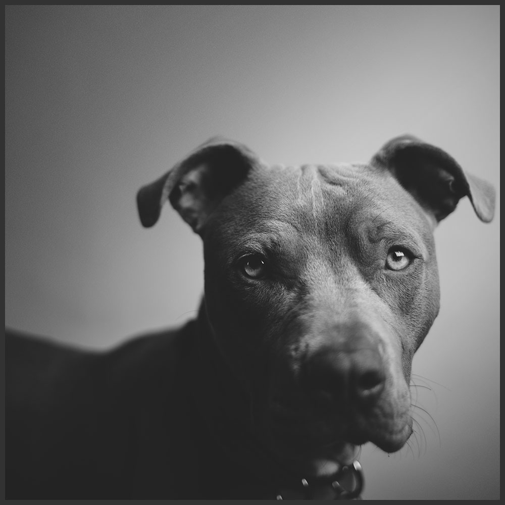 Pitbull Pet Portrait